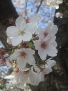 450px-Cherry_blossoms.jpg