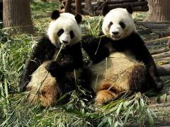 800px-Chengdu_pandas_eating.jpg