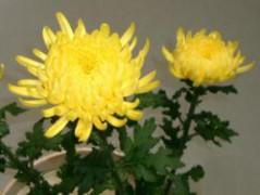 250px-Kiku_yellow01.jpg