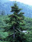 450px-Picea_jezoensis.jpg