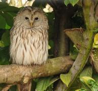 646px-Strix_uralensis_-Banham_Zoo_Norfolk_England-8a.jpg