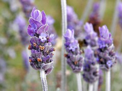 800px-Single_lavendar_flower02.jpg