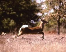 Deer_running.jpg