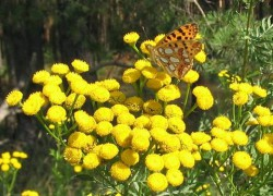 Tansy_and_Queen_of_Spain_Fritilllary.jpg