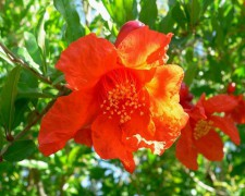 752px-Punica_granatum_flower.jpg