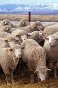 394px-Flock_of_sheep.jpg