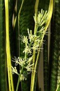 400px-Sansevieria_trifasciata_flower.jpg