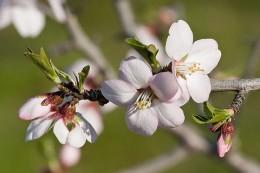 800px-Almond_blossom02_aug_2007.jpg