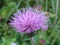 800px-Asteraceae_Cirsium_aomori_hakkouda_02.JPG