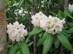 800px-Rhododendron_brachycarpum_01.jpg