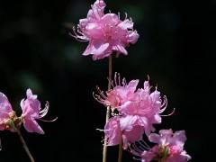 800px-Rhododendron_dauricum_flower.JPG