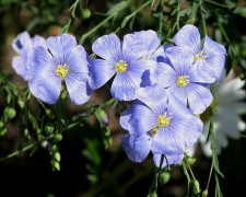 750px-Flax_flowers.jpg