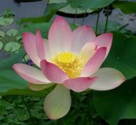 654px-Sacred_lotus_Nelumbo_nucifera.jpg