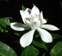 673px-Gardenia_Flower.jpg