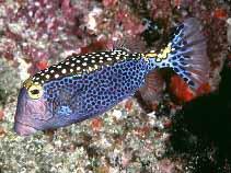 Whitespotted_boxfish_Ostracion_meleagris_photo_Randall_J_E.jpg
