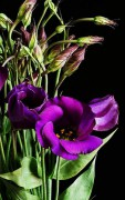 378px-Eustoma_grandiflorum_purple_02.jpg