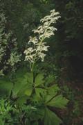 401px-Rodgersia_podophylla_4587.jpg