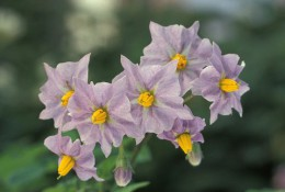 800px-Potato_flowers.jpg