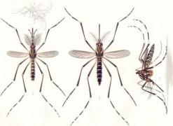 Aedes_aegypti_E-A-Goeldi_1905.jpg
