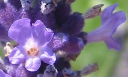 Flower_of_Lavandula_angustifolia.jpg