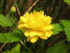 Kerria_japonica_-_flower.jpg