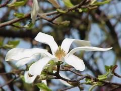 Magnolia_kobus_borealis1.jpg