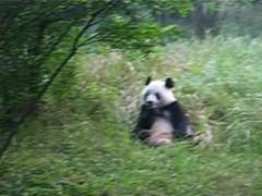 mid-Chengdu-oso-panda-comiendo-v01-mpg.ogg.jpg