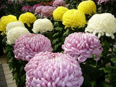 800px-Chrysanthemumkikukatori-cityjapan.jpg