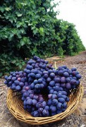 407px-Autumn_Royal_grapes.jpg