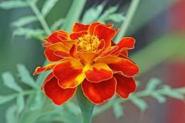 800px-French_marigold_Tagetes_patula.jpg