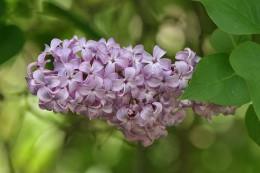 800px-Lilac_FlowerLeaves_SC_Vic_13_10_2007.jpg