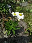 450px-Nipponanthemum_nipponicum_002.jpg