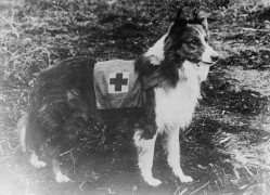 800px-Red_Cross_collie.jpg