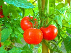 800px-Tomaten_tomatoes_pomodori.jpg