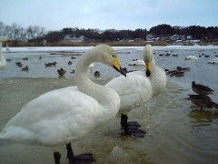 Swan_cygnus.jpg