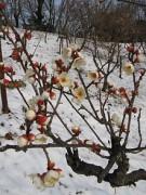 220px-Prunus_mume_Tojibai2.jpg