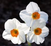 667px-Narcissus_Geranium.jpg