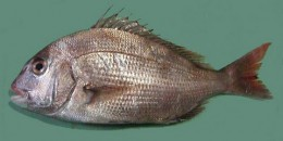 800px-Pagrus_major_Red_seabream_ja01.jpg