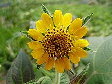 220px-Smallanthus_sonchifolius__p_2.jpg