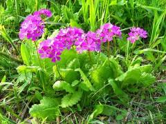 800px-Saitama_Tajimagahara_Primula_Sieboldii_Primrose_Habitat_2.jpg