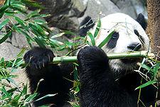 225px-Giant_Panda_Tai_Shan.jpg