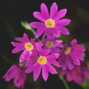 603px-Primula_cuneifolia_in_Midoridake_Hokkaido_2006-8-5_2.jpg