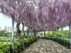 800px-Aquatic-plant-garden-wisteria-trellissawarakatori-cityjapan.jpg