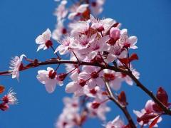 800px-Cherry_Blossom.jpg