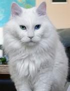 Deaf_odd_eye_white_cat_sebastian.jpg