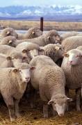 394px-Flock_of_sheep.jpg