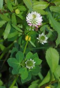 414px-Trifolium_April_2010-2.jpg
