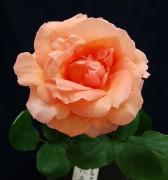 561px-Rose-kanon.jpg