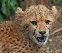 714px-Cheetah_cub_close-up_edit2_2.jpg
