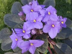 Purple_African_Violet_Top.jpg